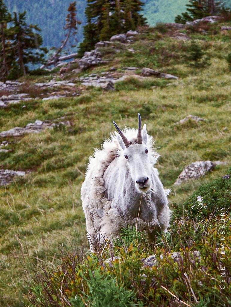 Molting Mountain Goat