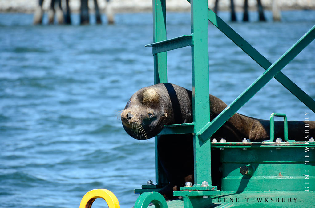 Lazy Sea Lion