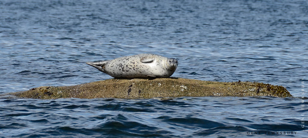Harbour Seal on Rock