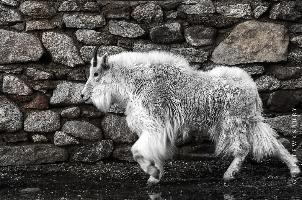 Goat and wall