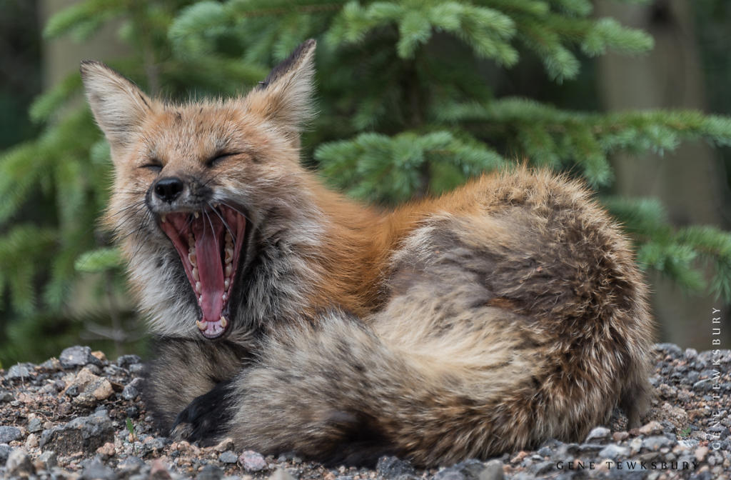 Red Fox Yawn